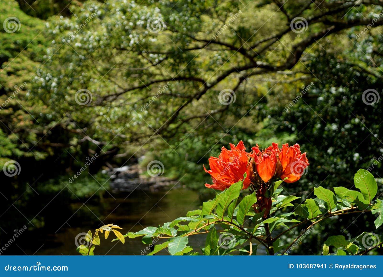Африканский цветок дерева тюльпана в предпосылке джунглей Кауаи Гаваи