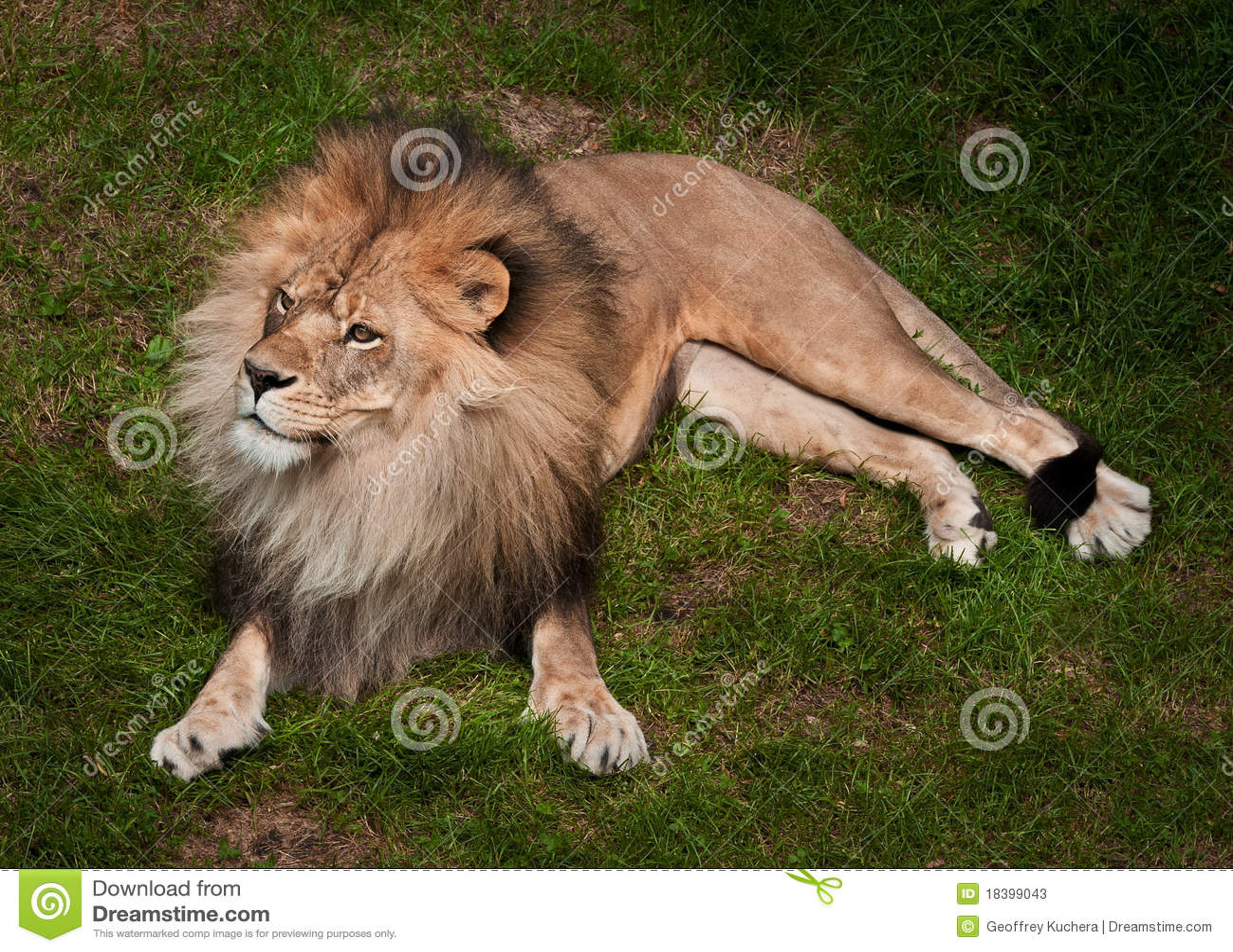 африканский panthera льва leo krugeri