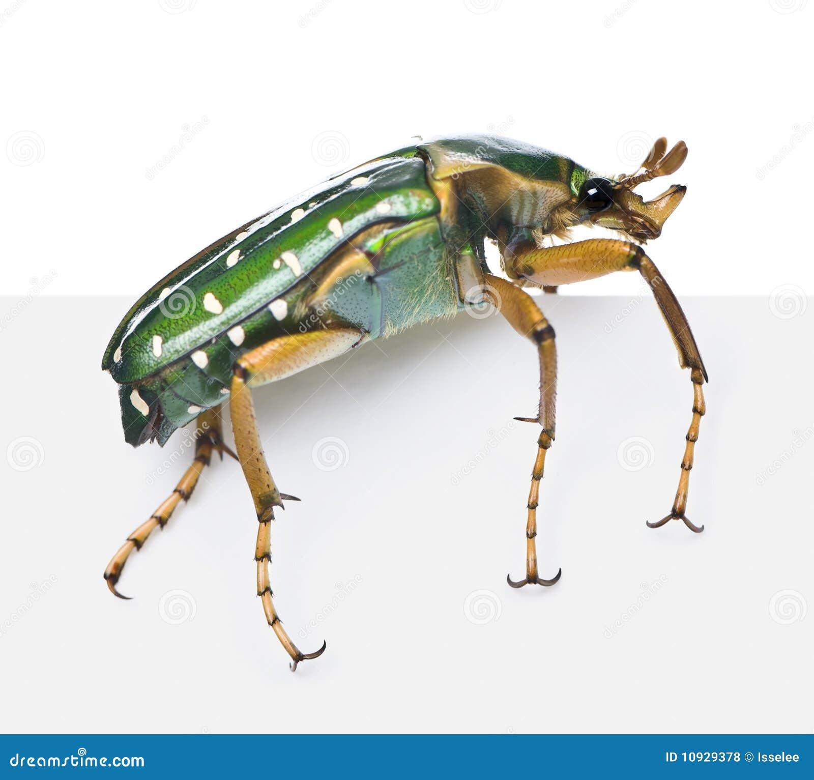 Африка против белизны цветка жука предпосылки восточной
