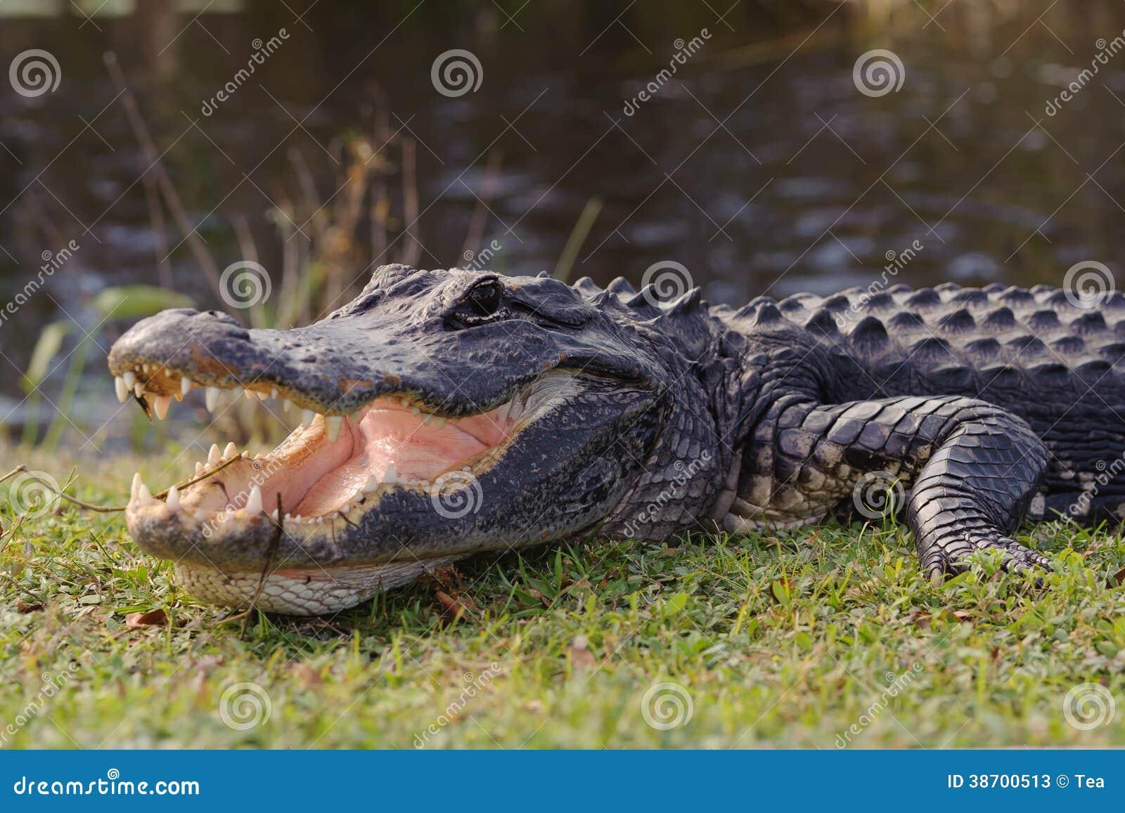 Аллигатор в парке болотистых низменностей