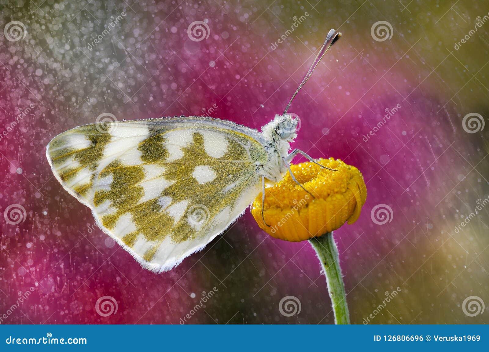 Бабочка в дожде