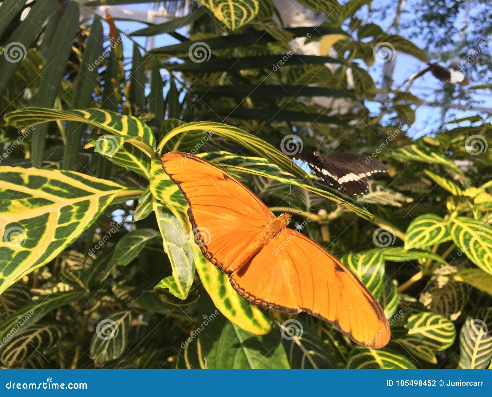 Бабочка Джулии Dryas на зеленых листьях