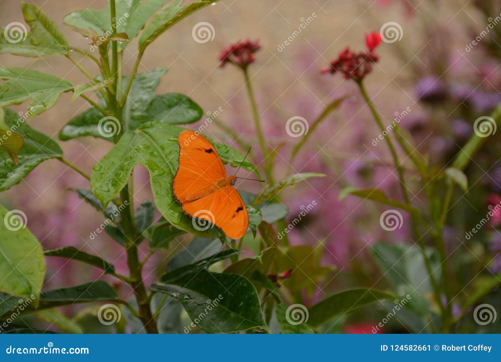 Бабочка Джулии Longwing в саде