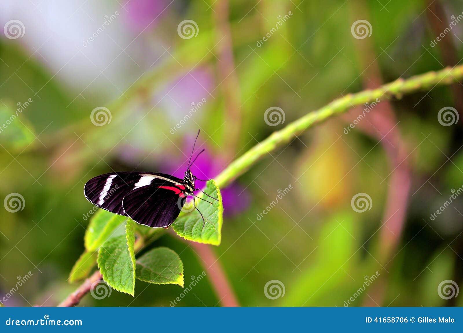 Бабочка макроса, Сара Longwing в aviary