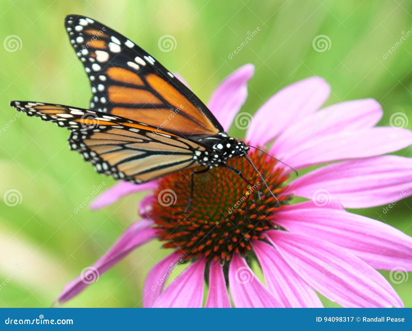 Бабочка монарха на цветке эхинацеи