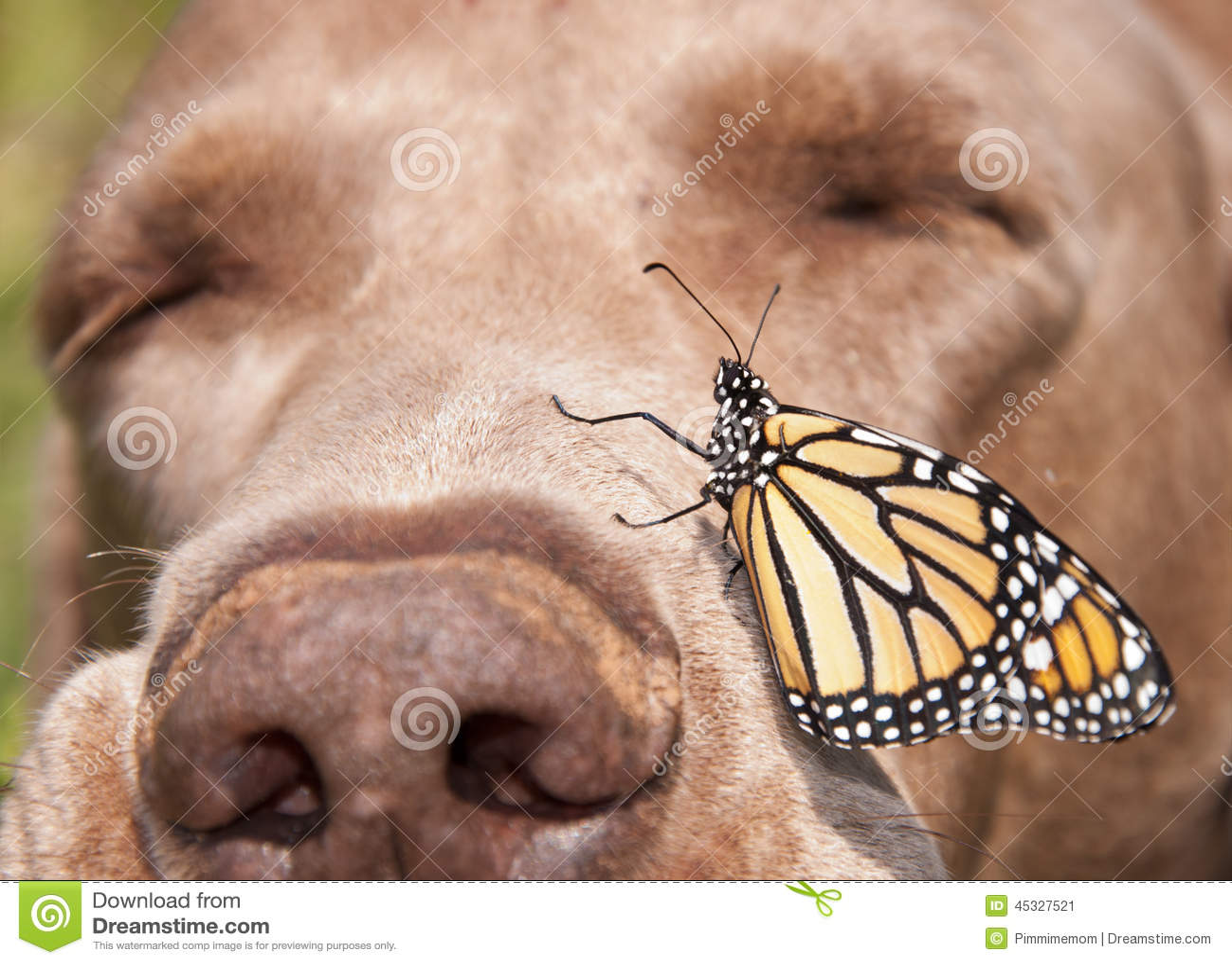 Бабочка монарха садилась на насест на стороне носа собаки