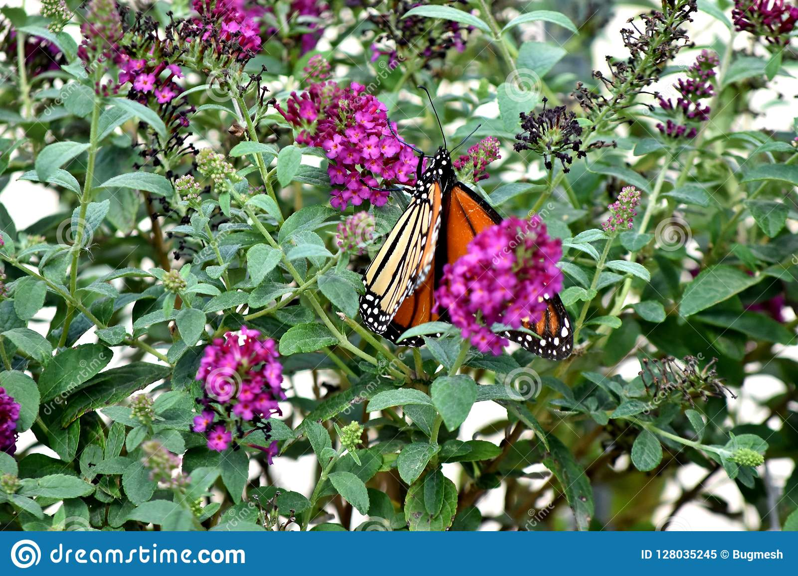 Бабочка, монарх, проникая на юг к Оклахомаа-Сити