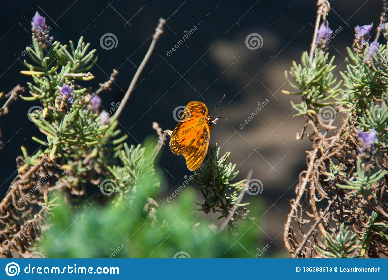 Бабочка над лавандой
