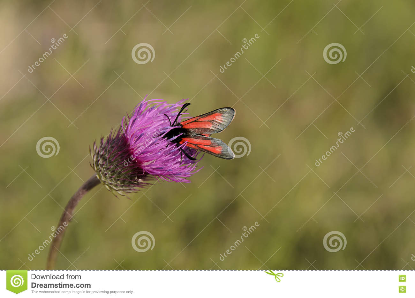 Бабочка на фиолетовом цветке thistle
