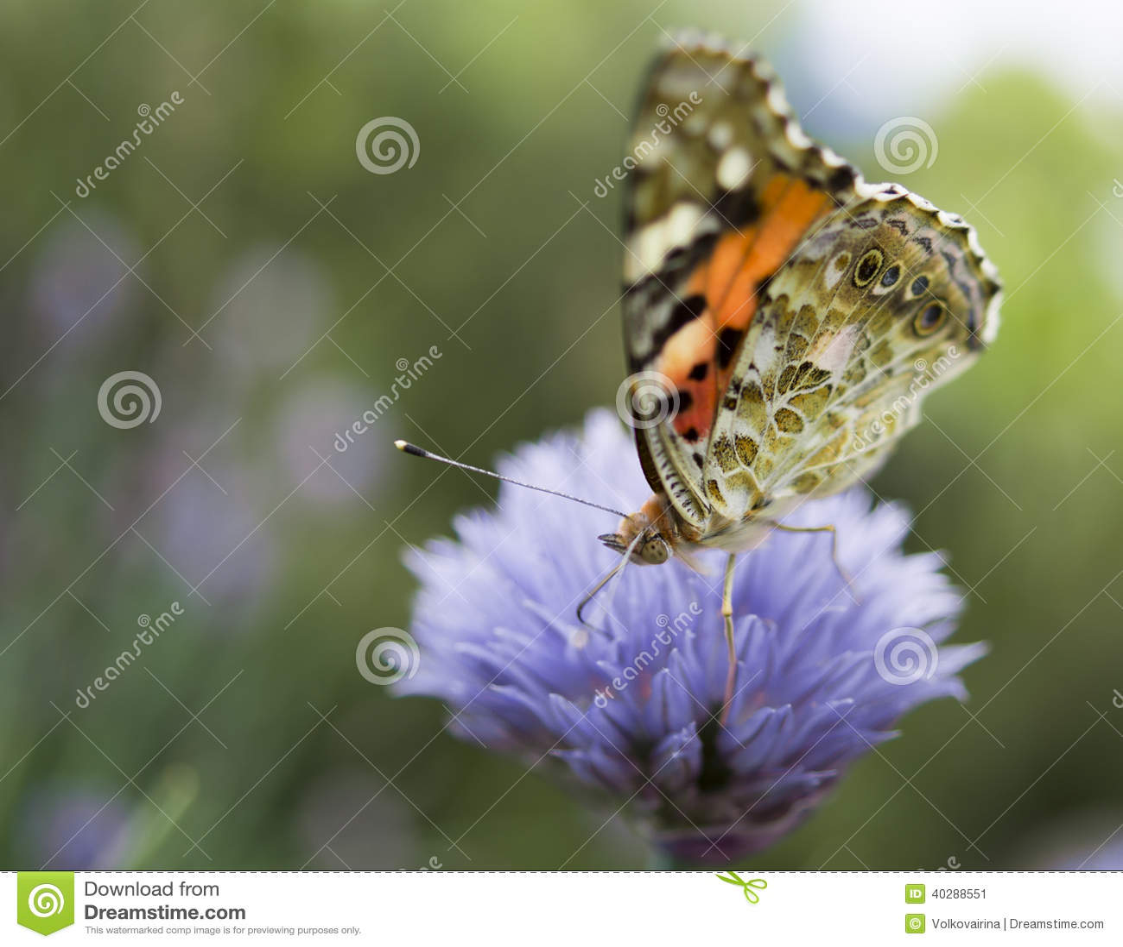 Бабочка на cornflower