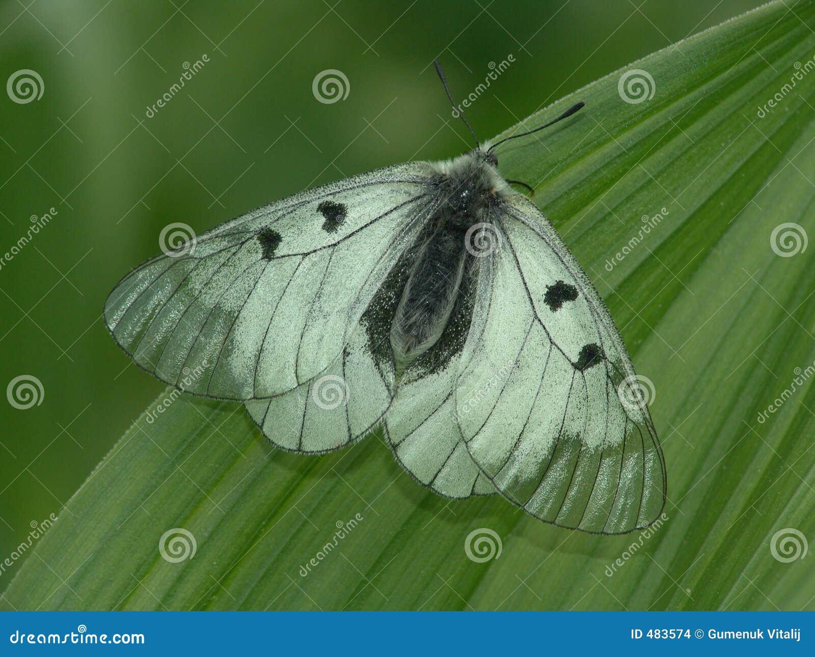 бабочка редкая