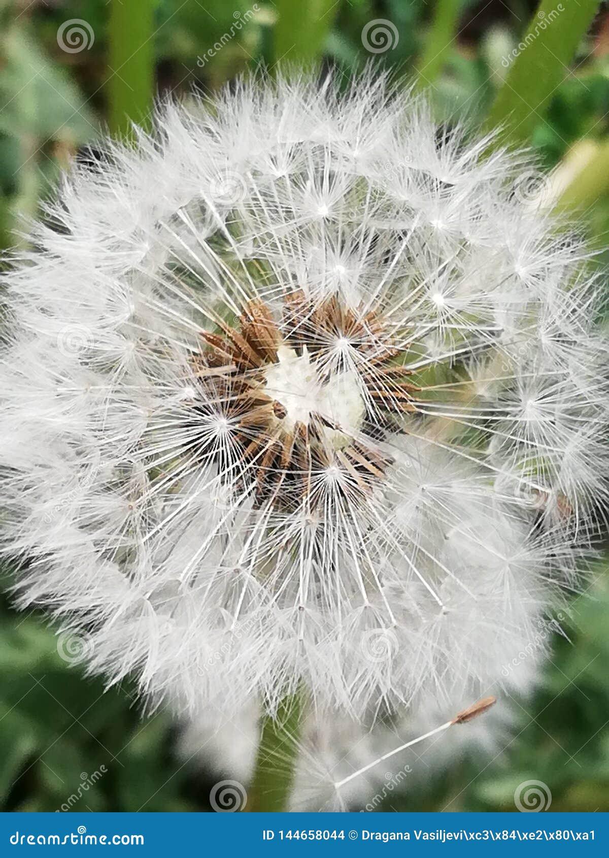 Бабочка цветка цветеня