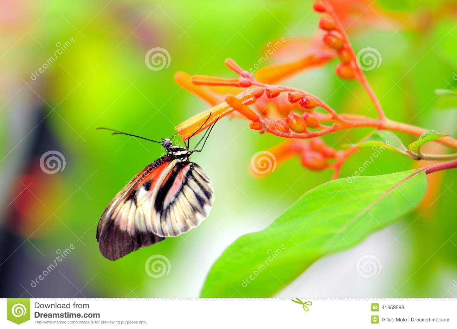Бабочка, Heliconius подавая на цветках