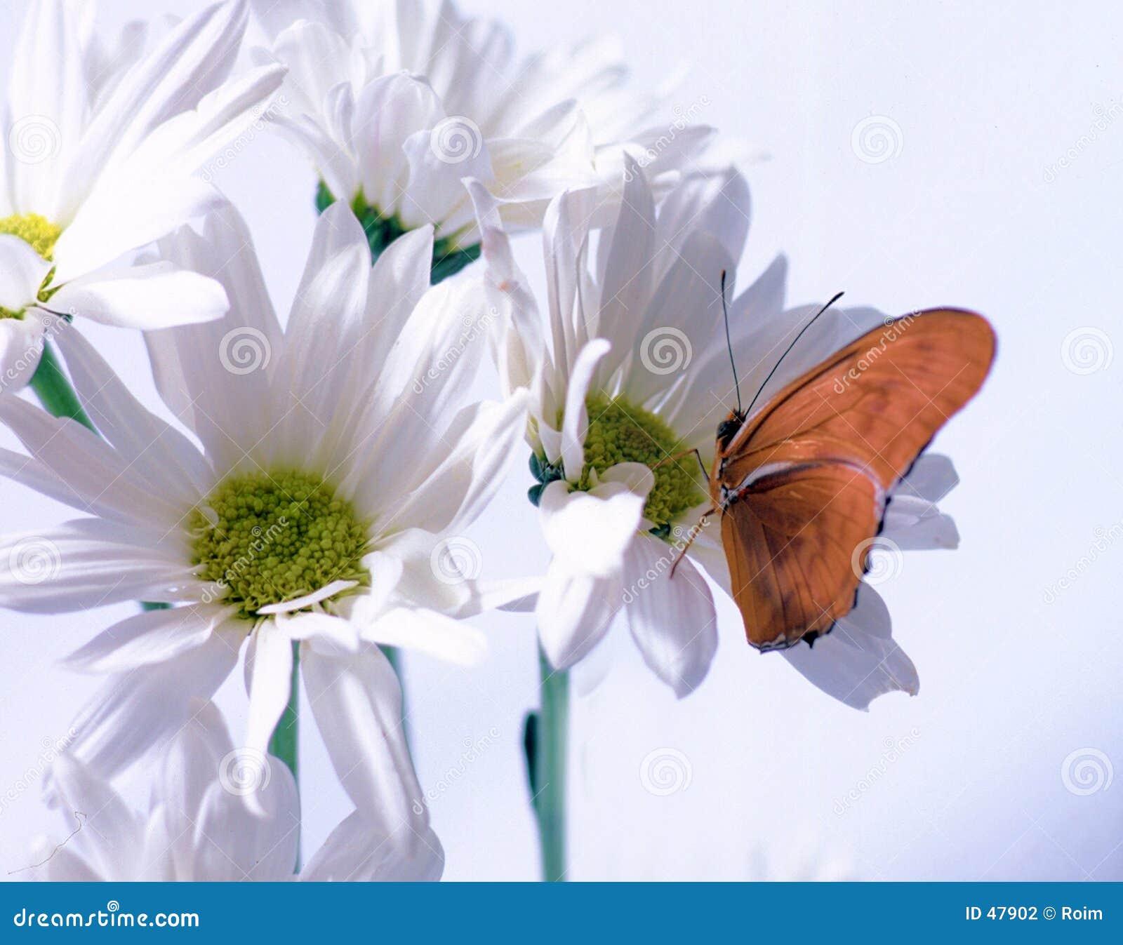 бабочка julia