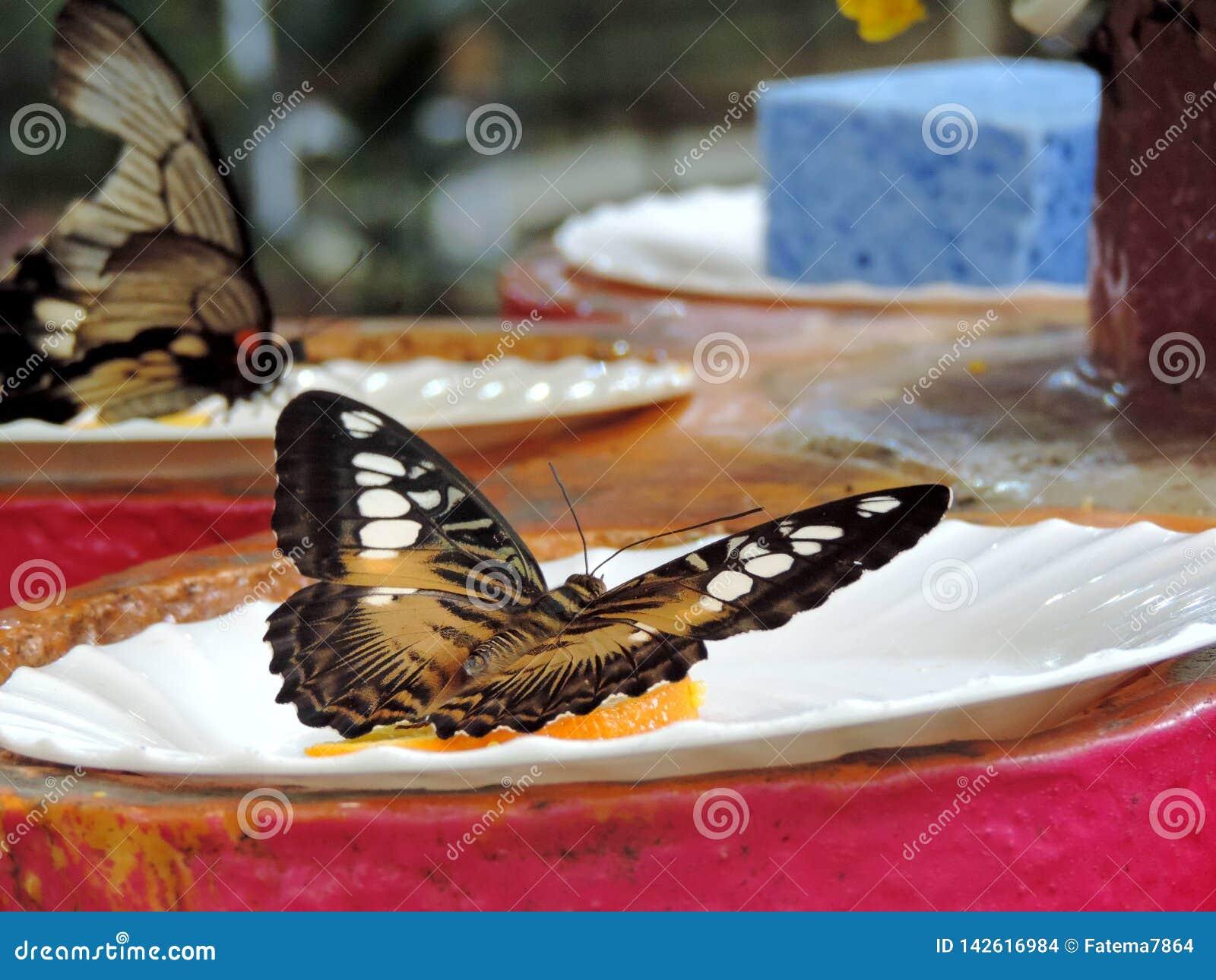 Бабочка Parthenos Сильвия внутри сада бабочки Дубай