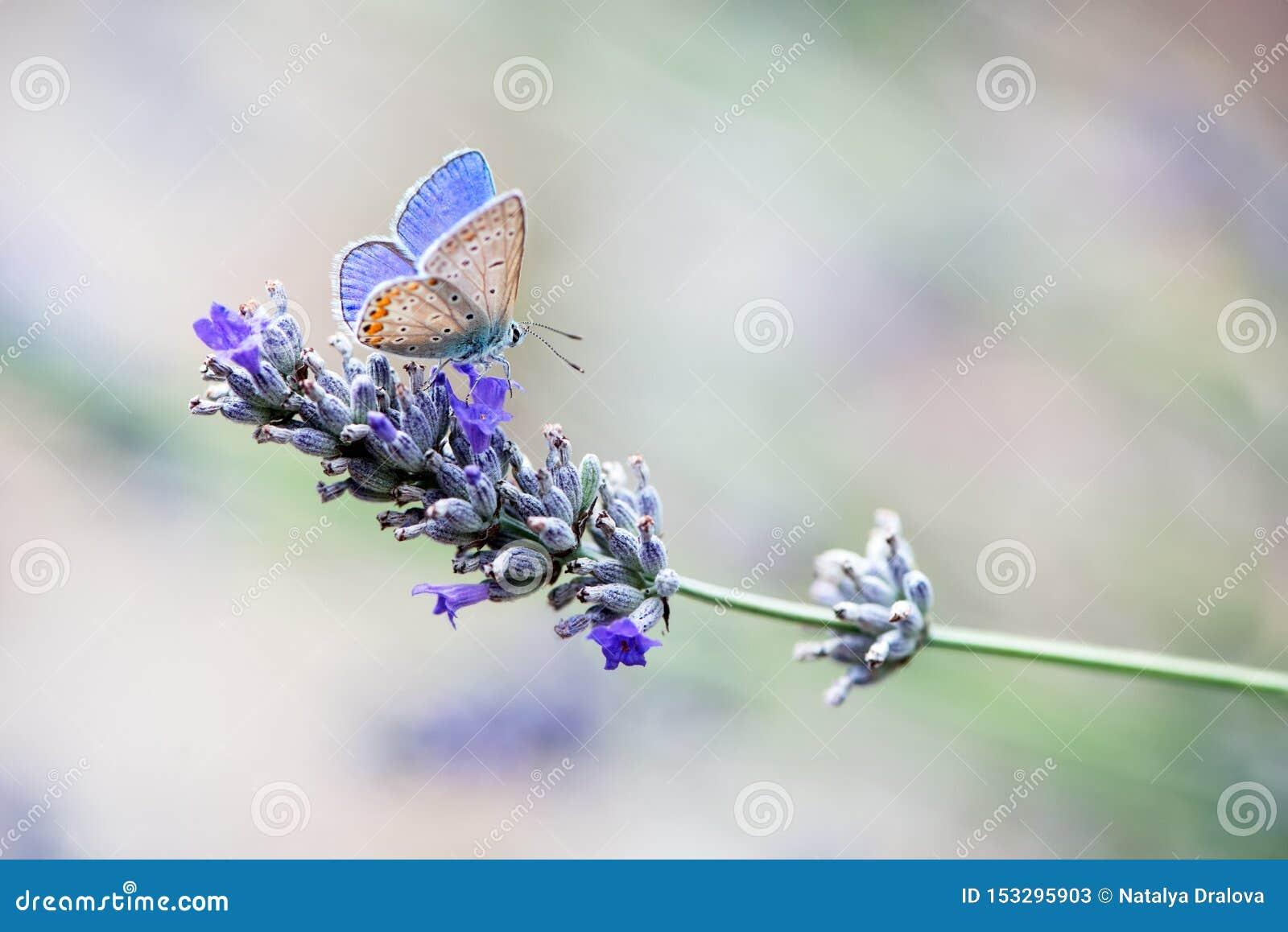 Бабочка Polyommatus Икар собирает нектар на sprig лаванды на летний день