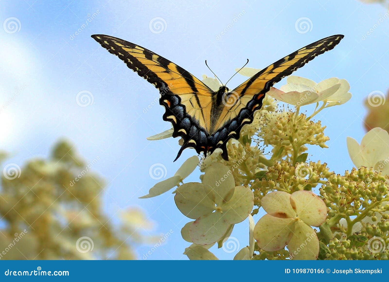 Бабочка Swallowtail тигра