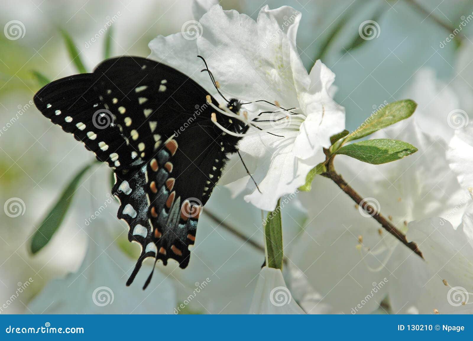 бабочка XII