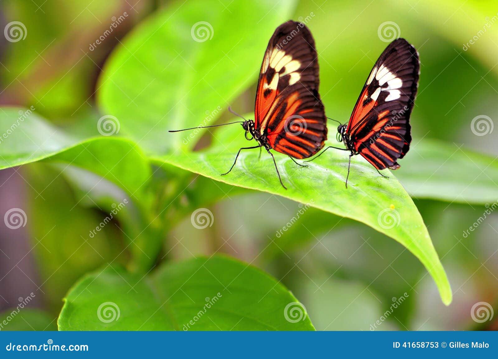 2 бабочки рояля ключевых на зеленых лист