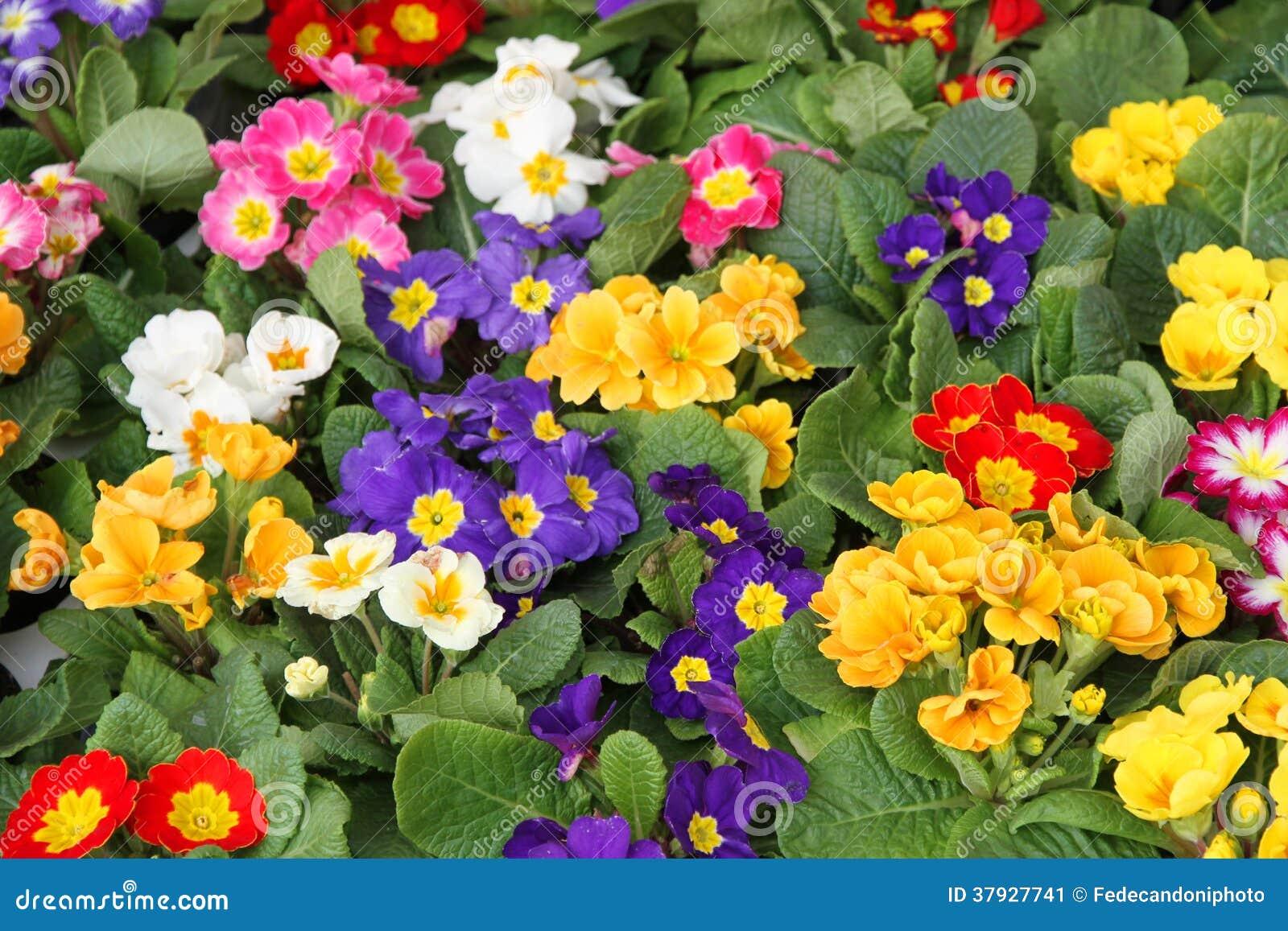 Баки цвести в весне primula в оптовой продаже 1