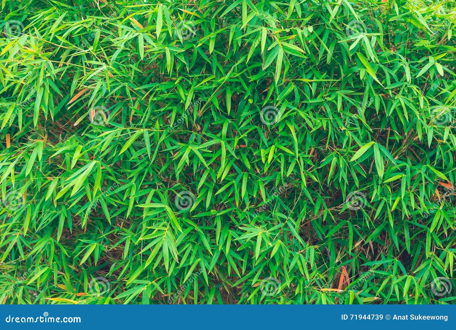 Бамбуковые листья, зеленые лист