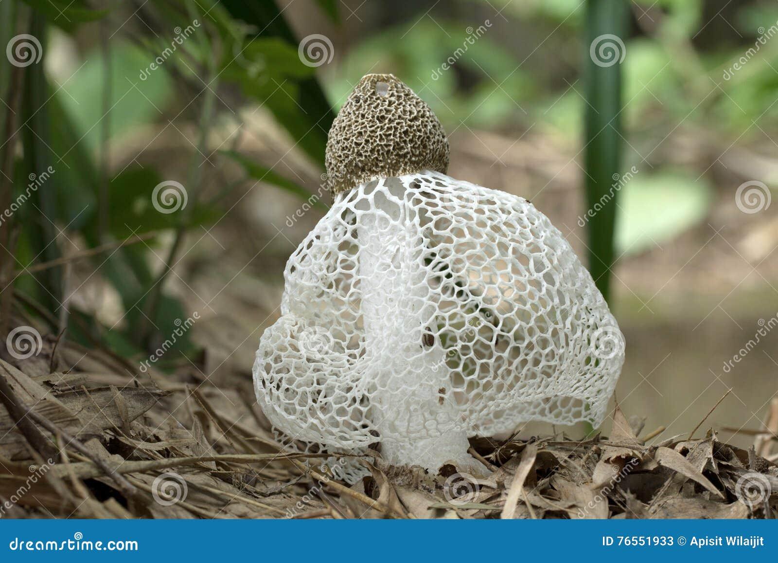 бамбуковый гриб фото