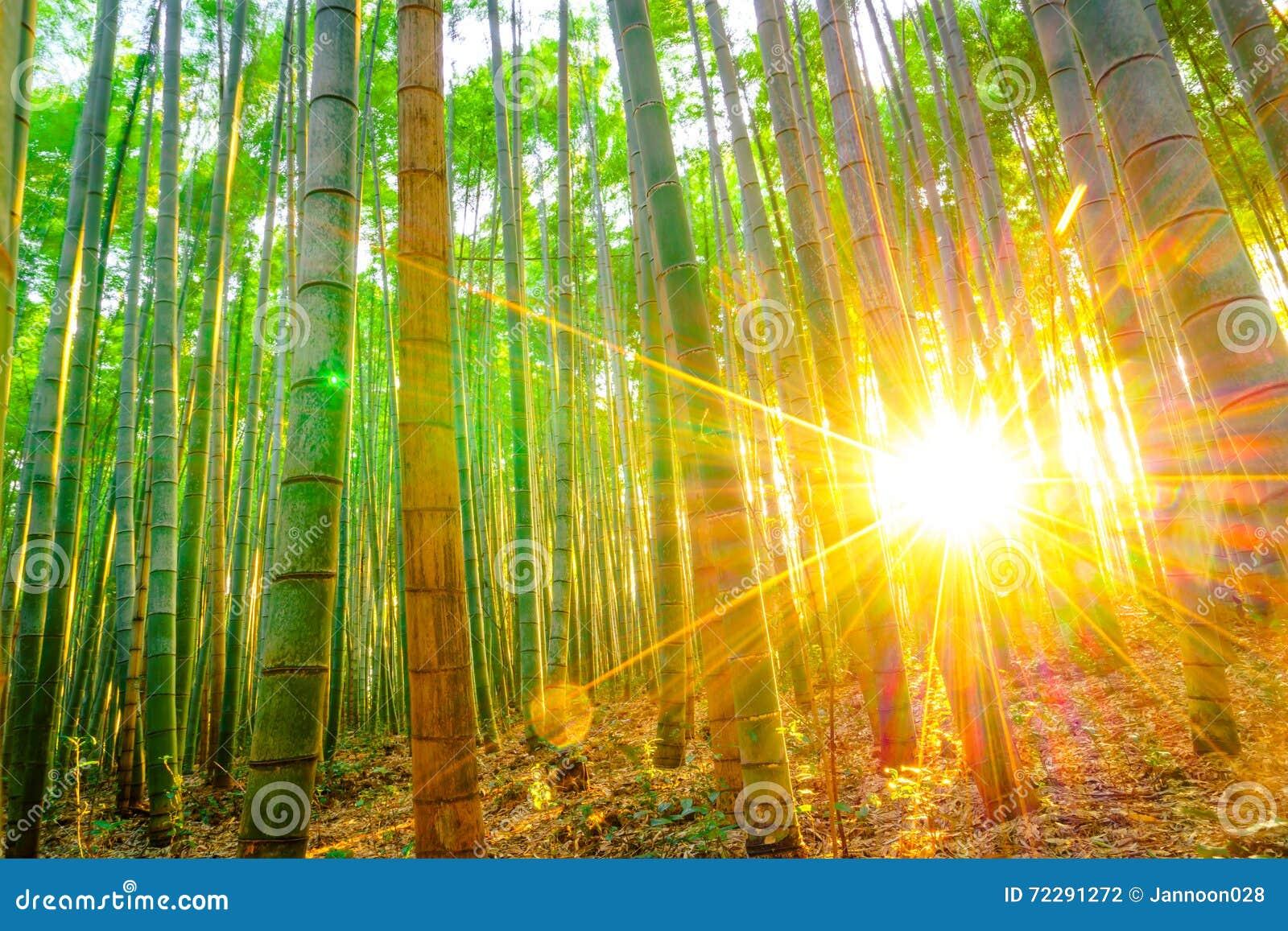 Download Бамбуковый лес с солнечным в утре Стоковое Фото - изображение насчитывающей японско, украшение: 72291272