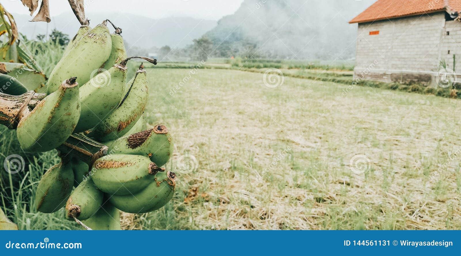 Банановые деревья на краю полей риса - изображение от Бали Индонезии
