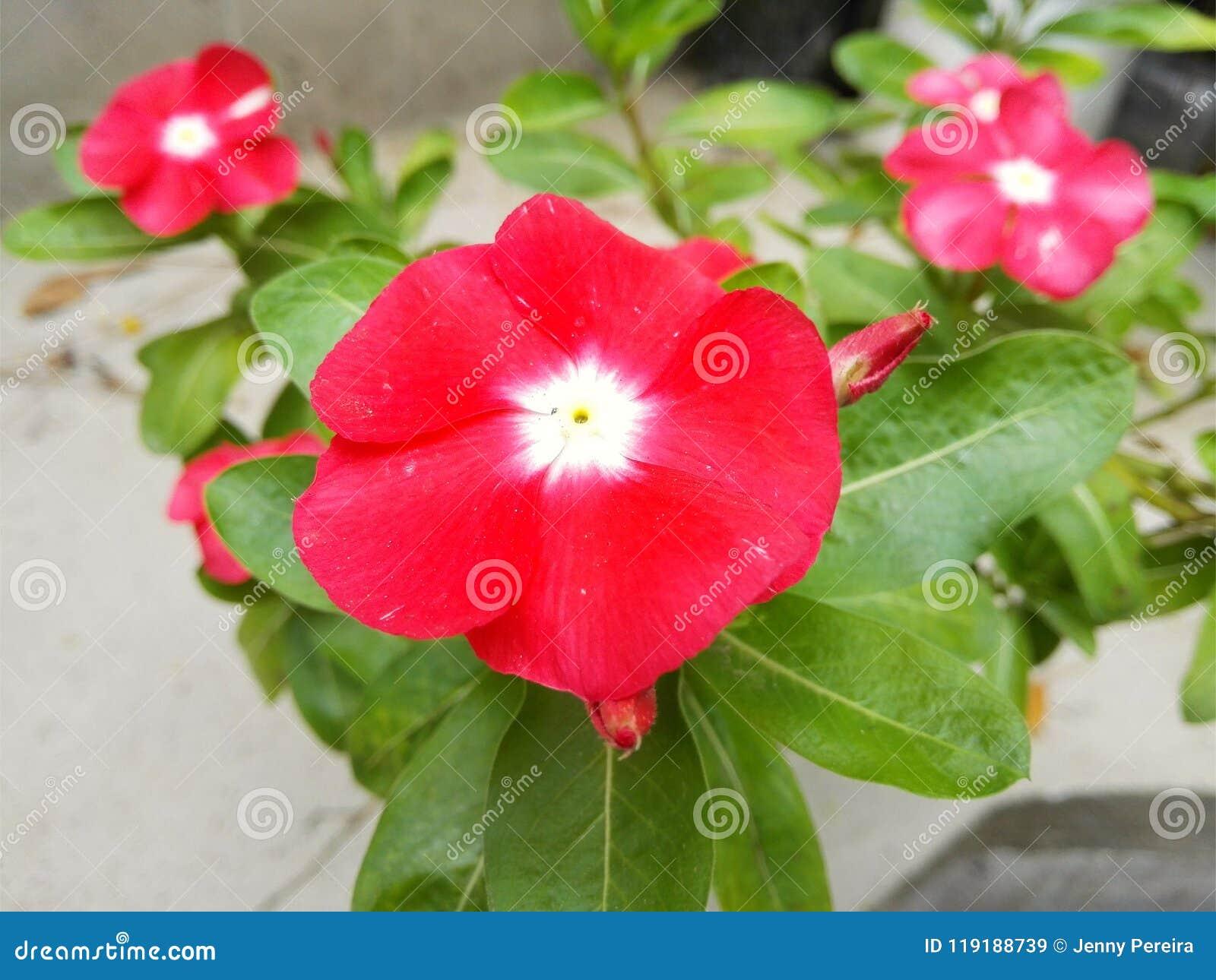 барвинок de Мадагаскар, teresita, добрый день, цветок чувствительного цвета