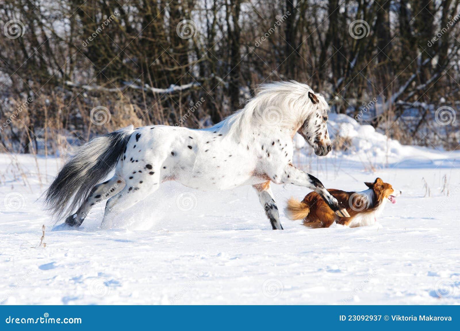 Бега пониа и собаки Appaloosa gallop в зиме
