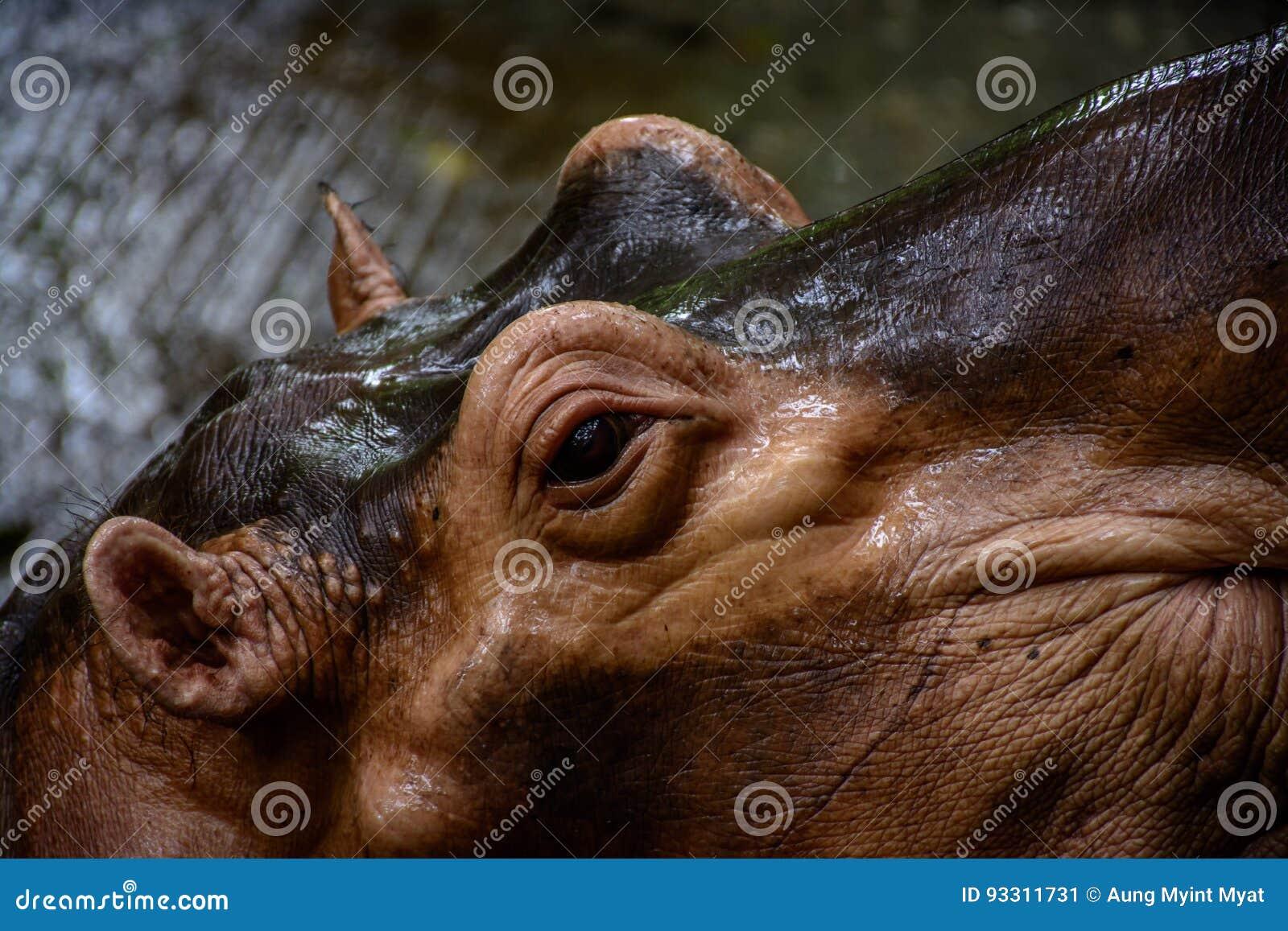 Бегемот в зоопарке, Мьянма