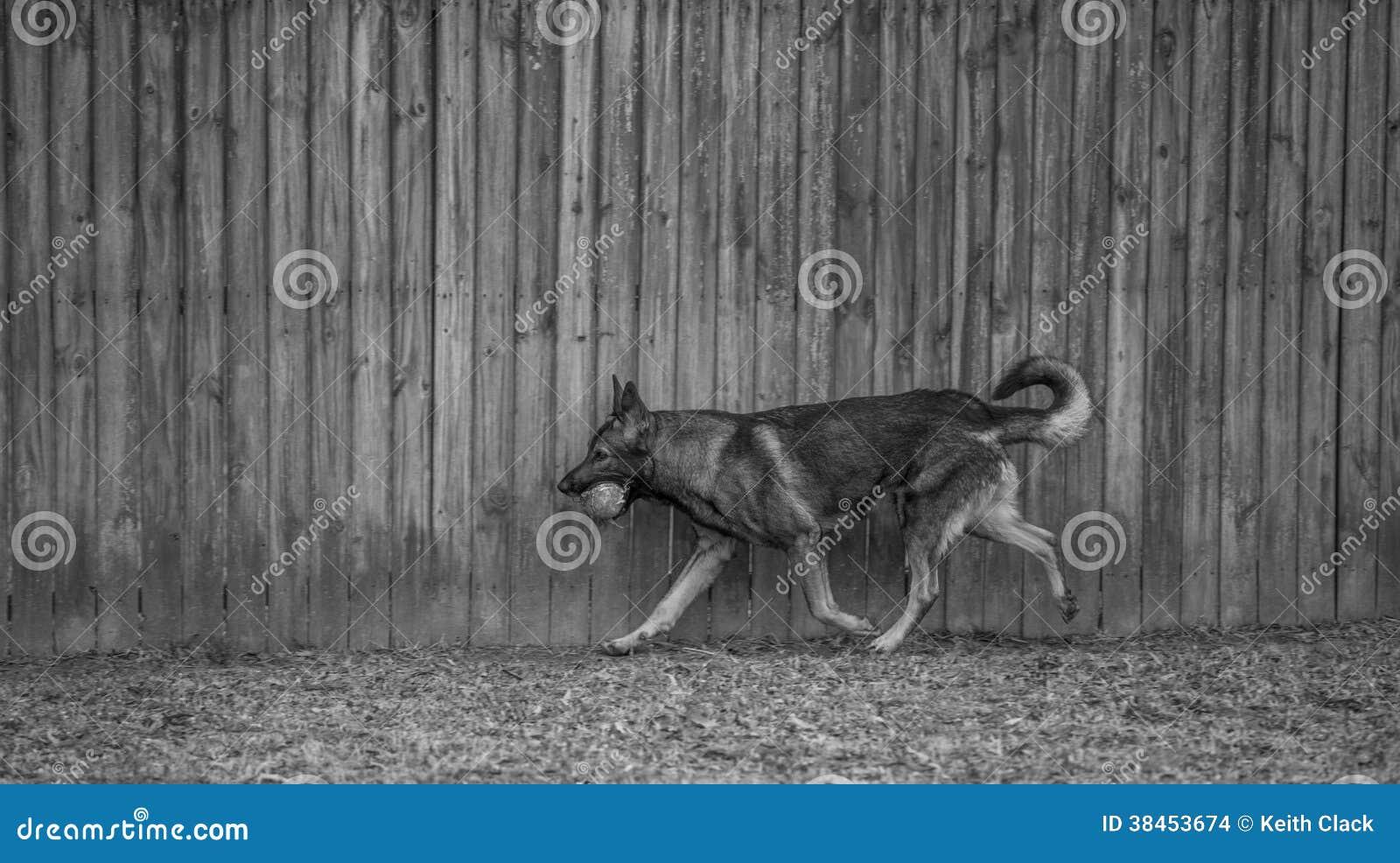 Бег собаки