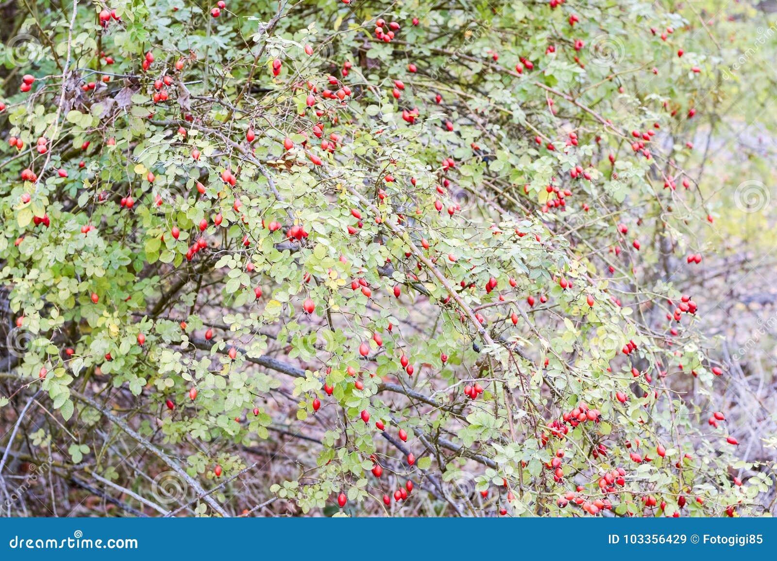 Бедра bush с зрелыми ягодами Ягоды dogrose на кусте Плодоовощи одичалых роз Терновое dogrose красный цвет вальм поднял