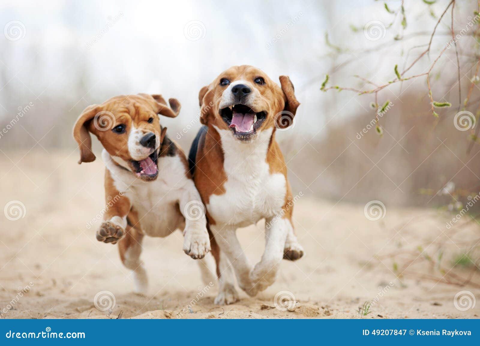 Бежать 2 смешной собак бигля