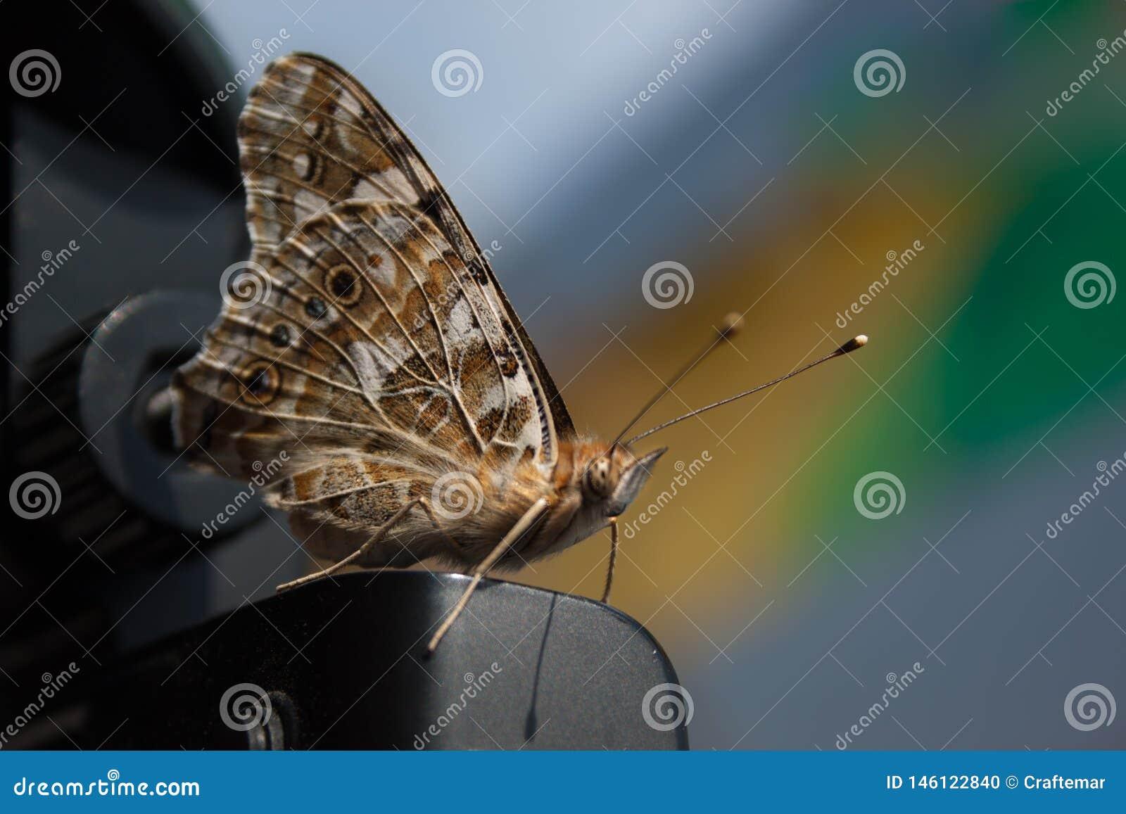 Бежевая коричневая бабочка шкипера с длинными усиками и пушистым телом фотография макроса Конец-вверх Hesperioidea