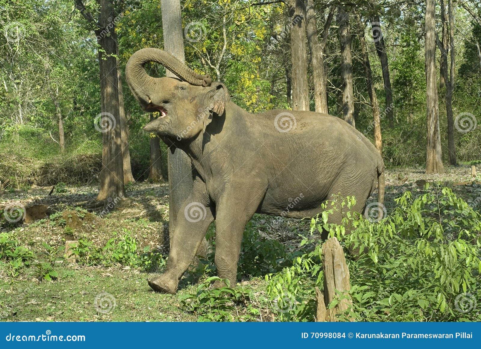 без Бивень демонстрировать слона быка