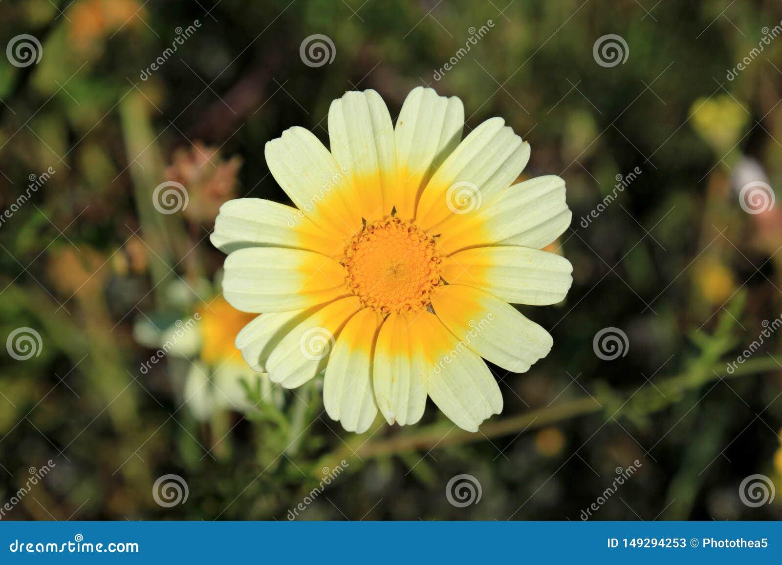 Белая и желтая маргаритка весной