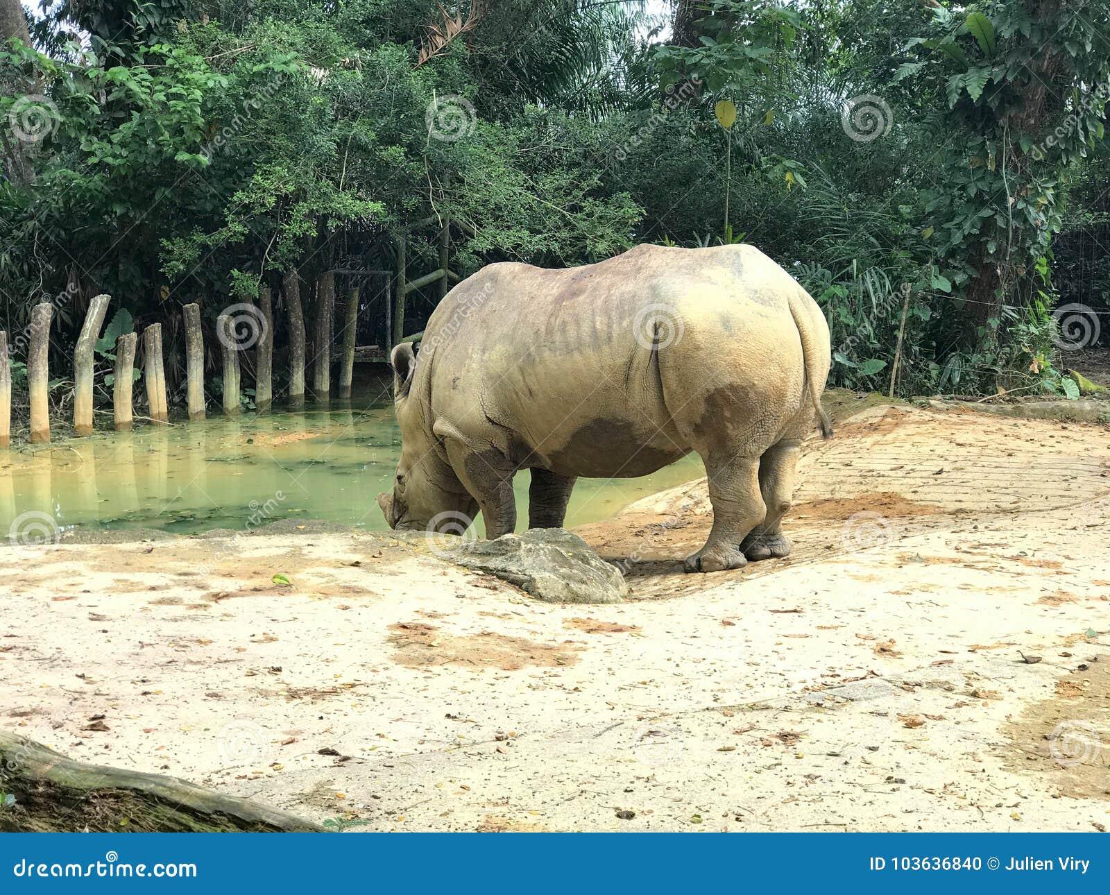 Белая квадрат-lipped питьевая вода носорога