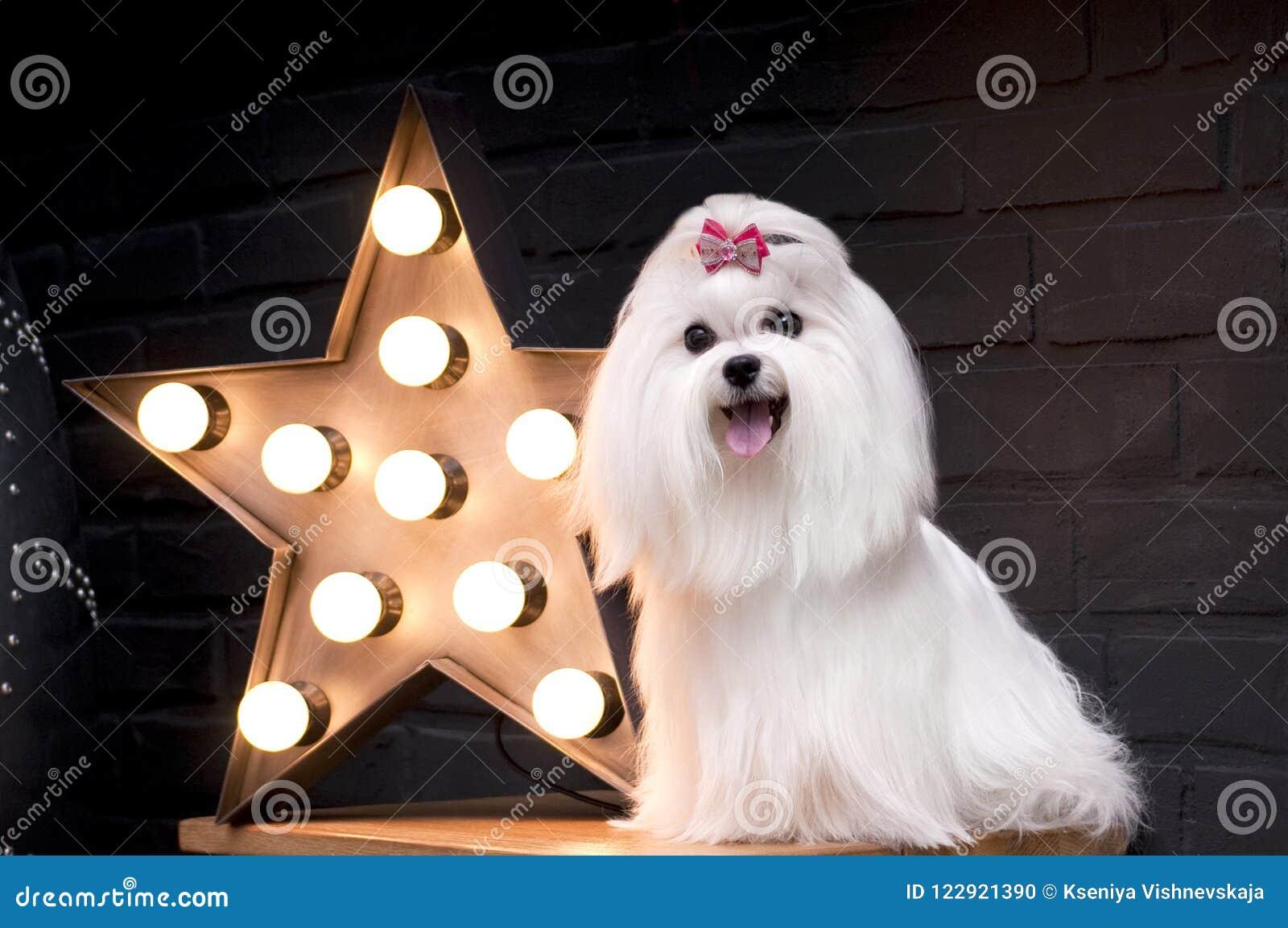 Белая маленькая собака мальтийсная