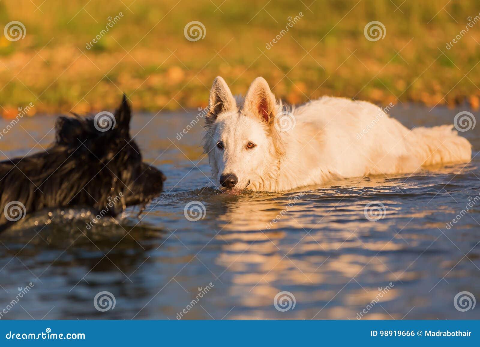 Белая немецкая овчарка и черная собака в воде Стоковое ...