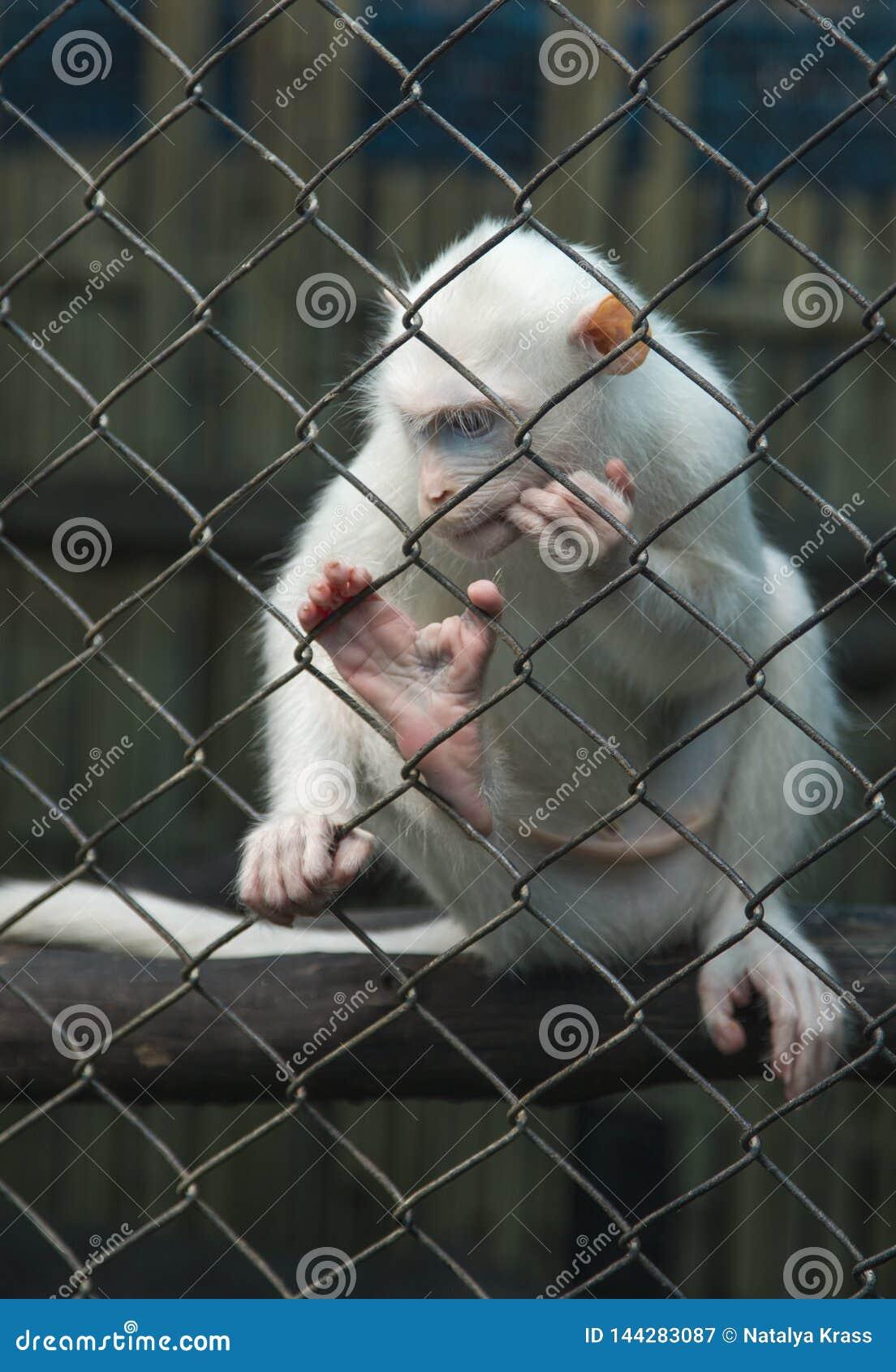 Белая обезьяна думая в клетке за решеткой