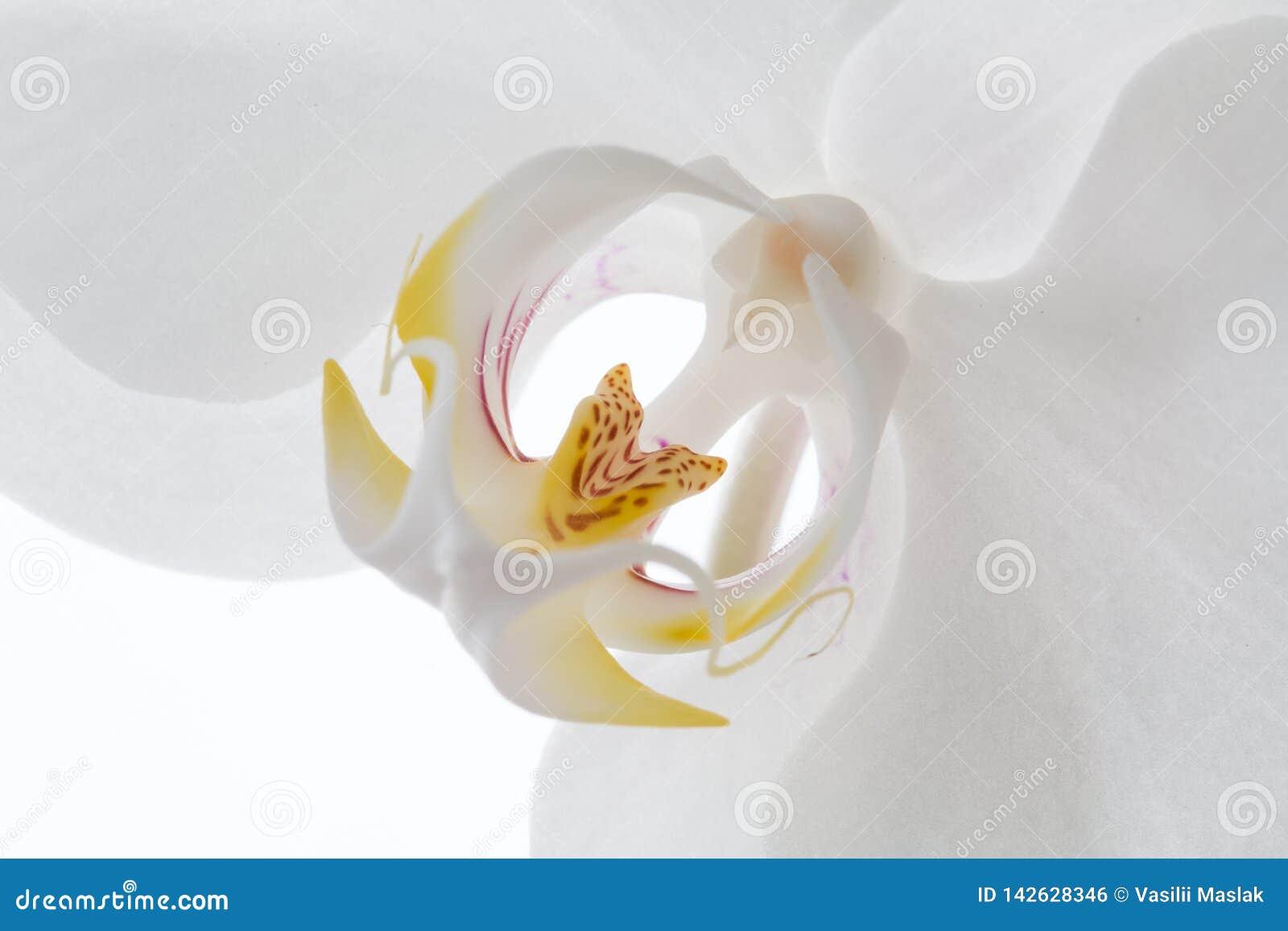 Белый цветок орхидеи на белой предпосылке