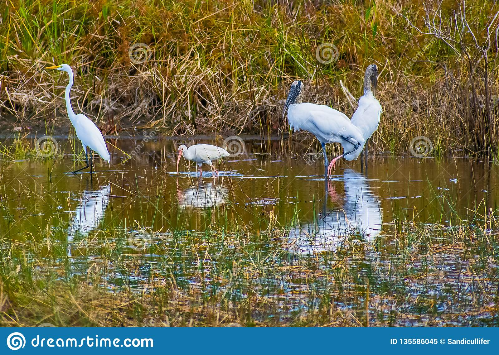 Белая птичья живая природа в болоте Флориды