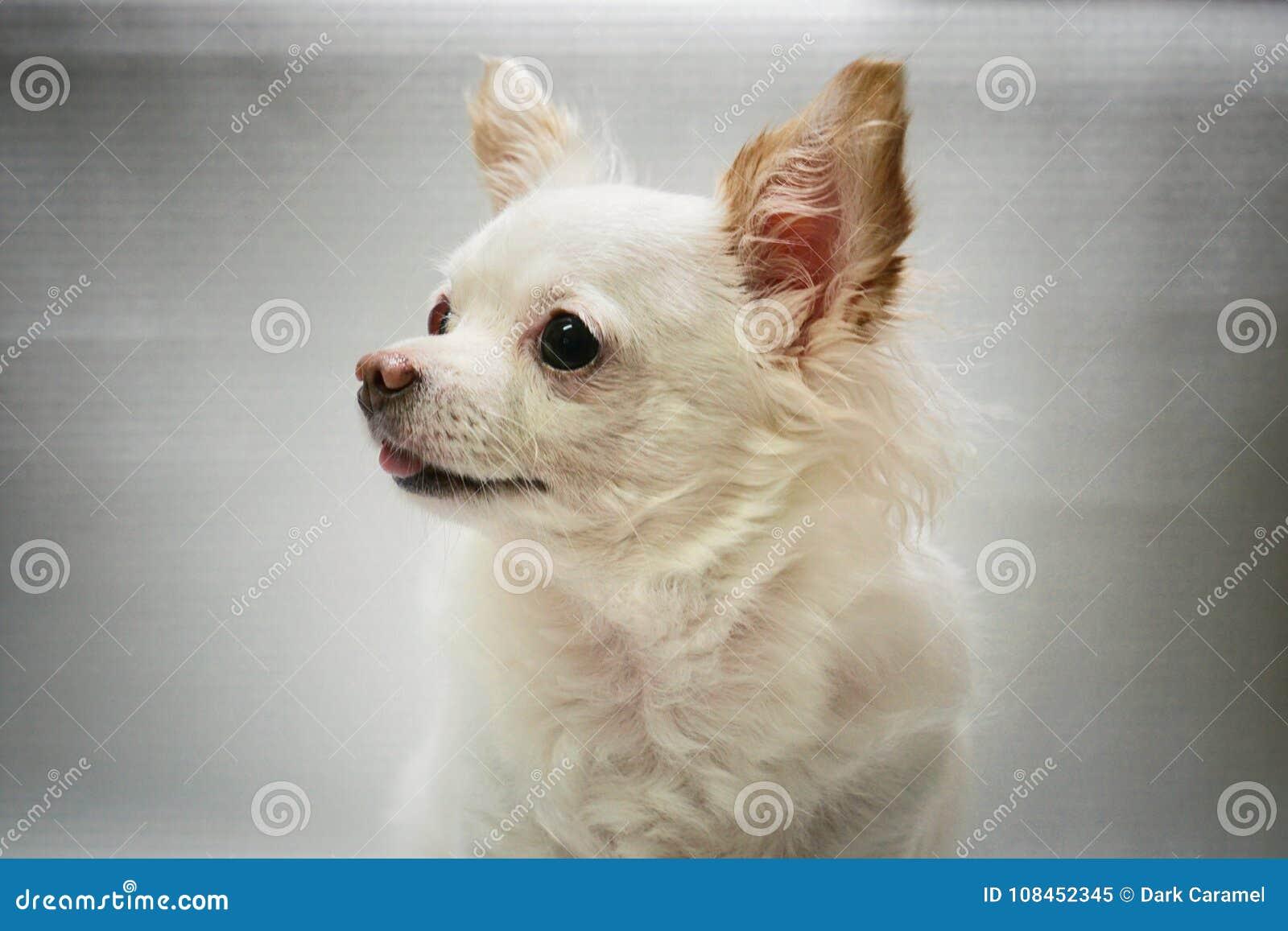 Белая собака чихуахуа смотря камеру