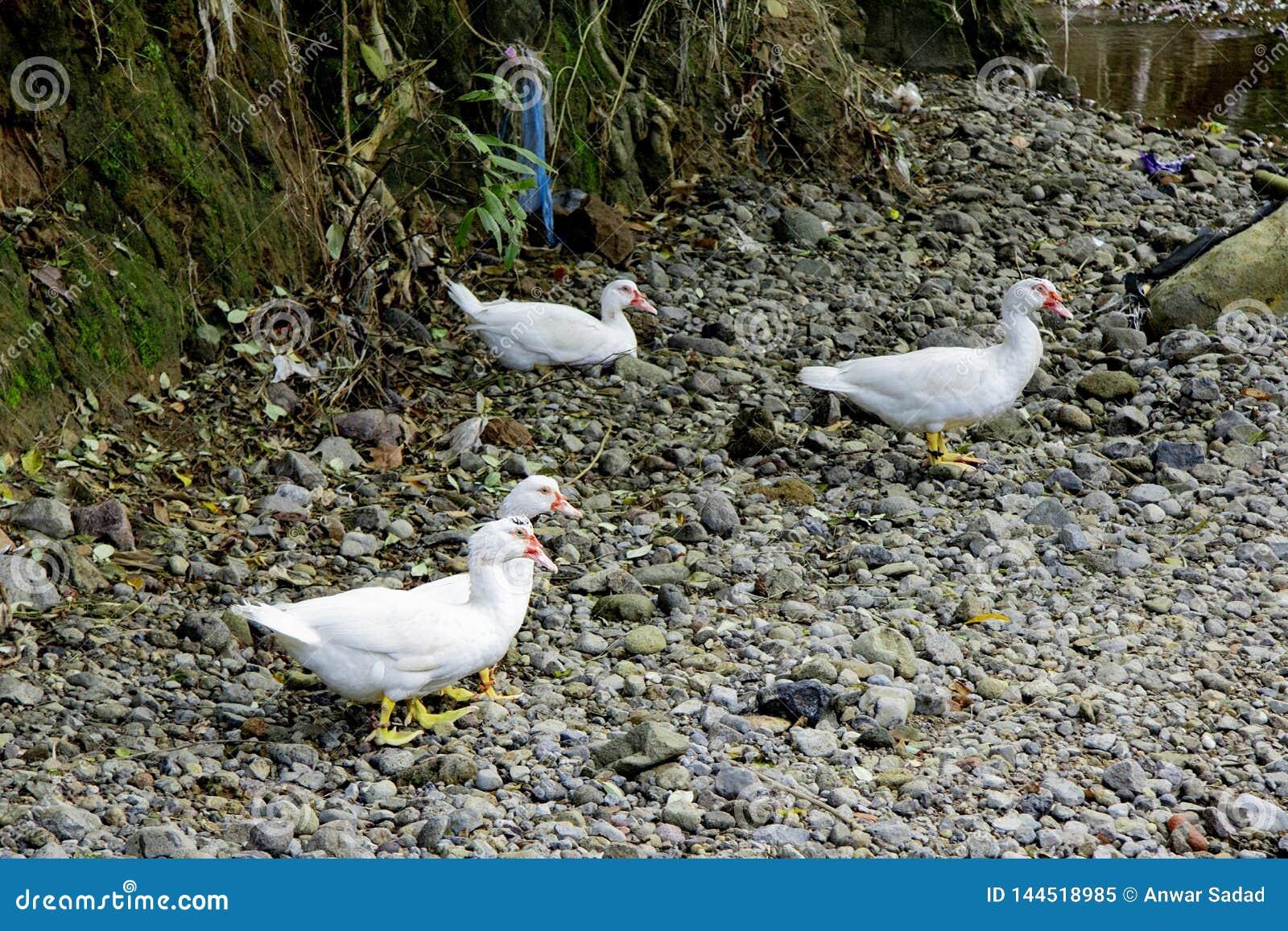 Белая утка идя на гравий