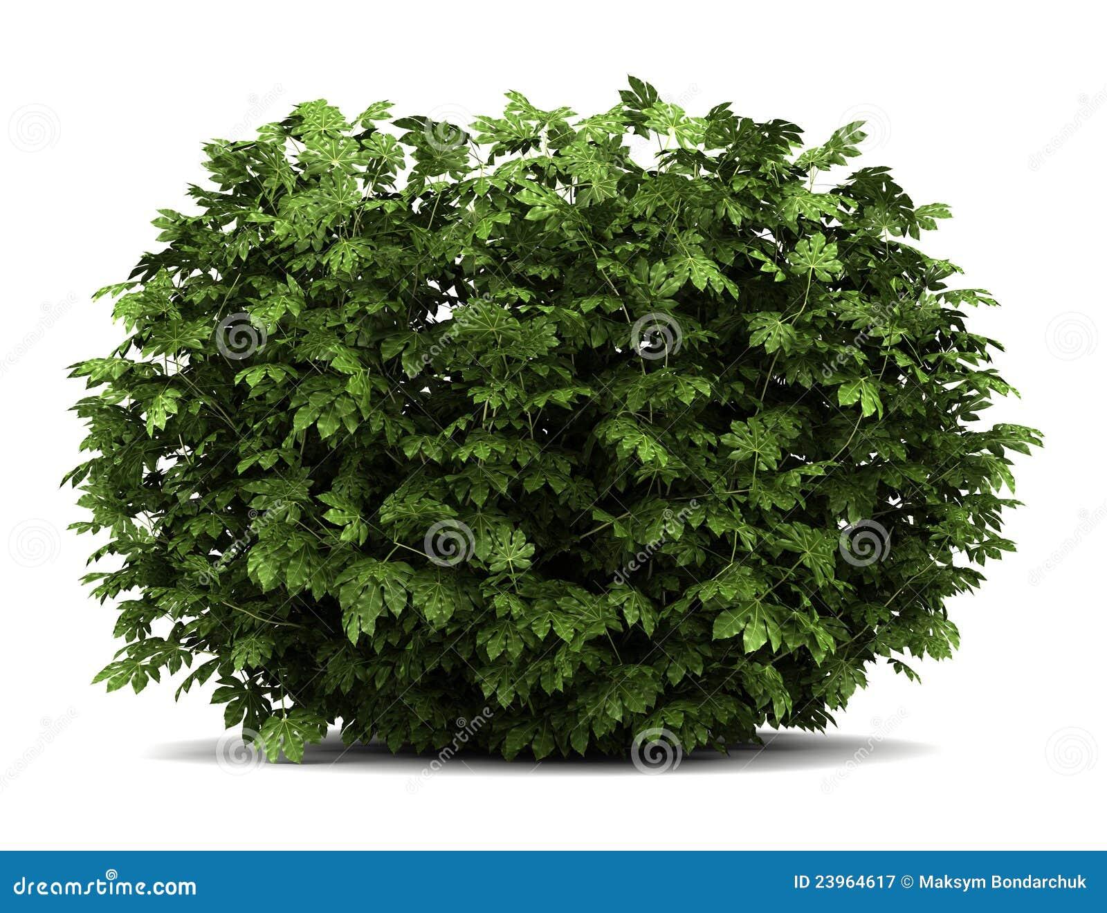 белизна аралии изолированная bush японская