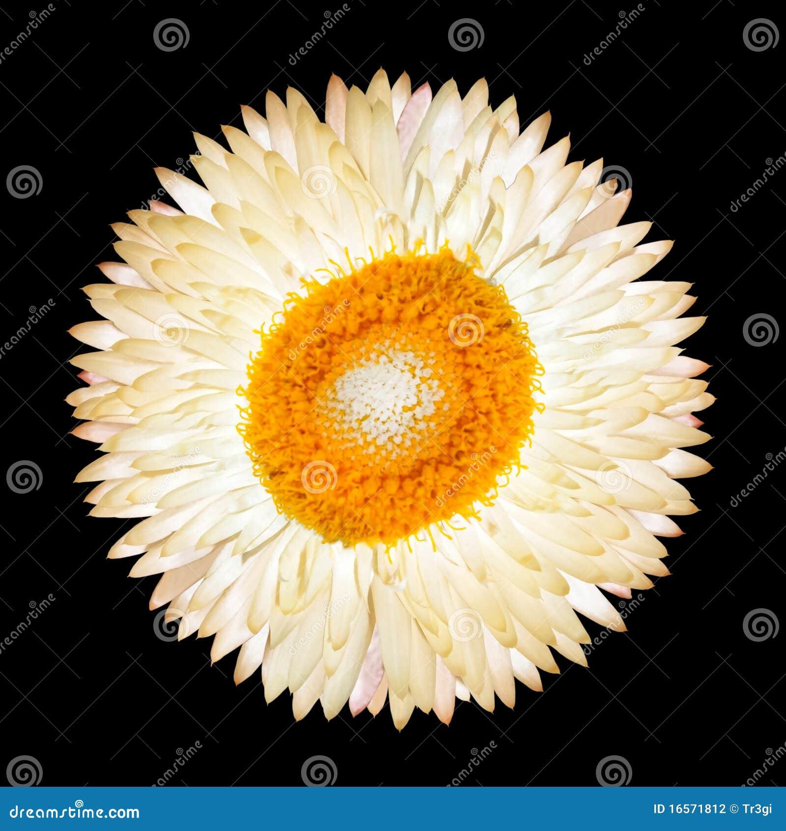 белизна вековечного цветка изолированная одиночная