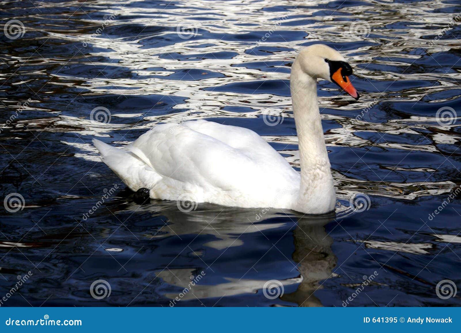 Download белизна воды лебедя озера стоковое изображение. изображение насчитывающей пер - 641395