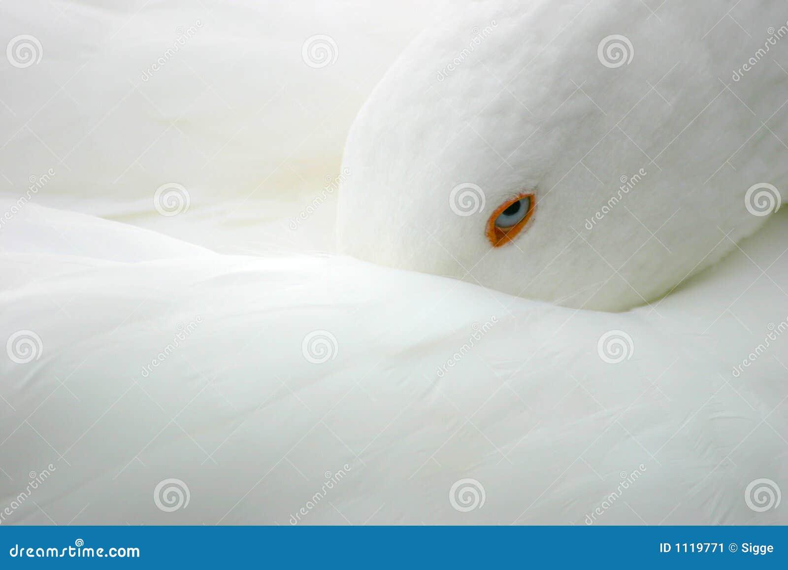 белизна гусыни птицы