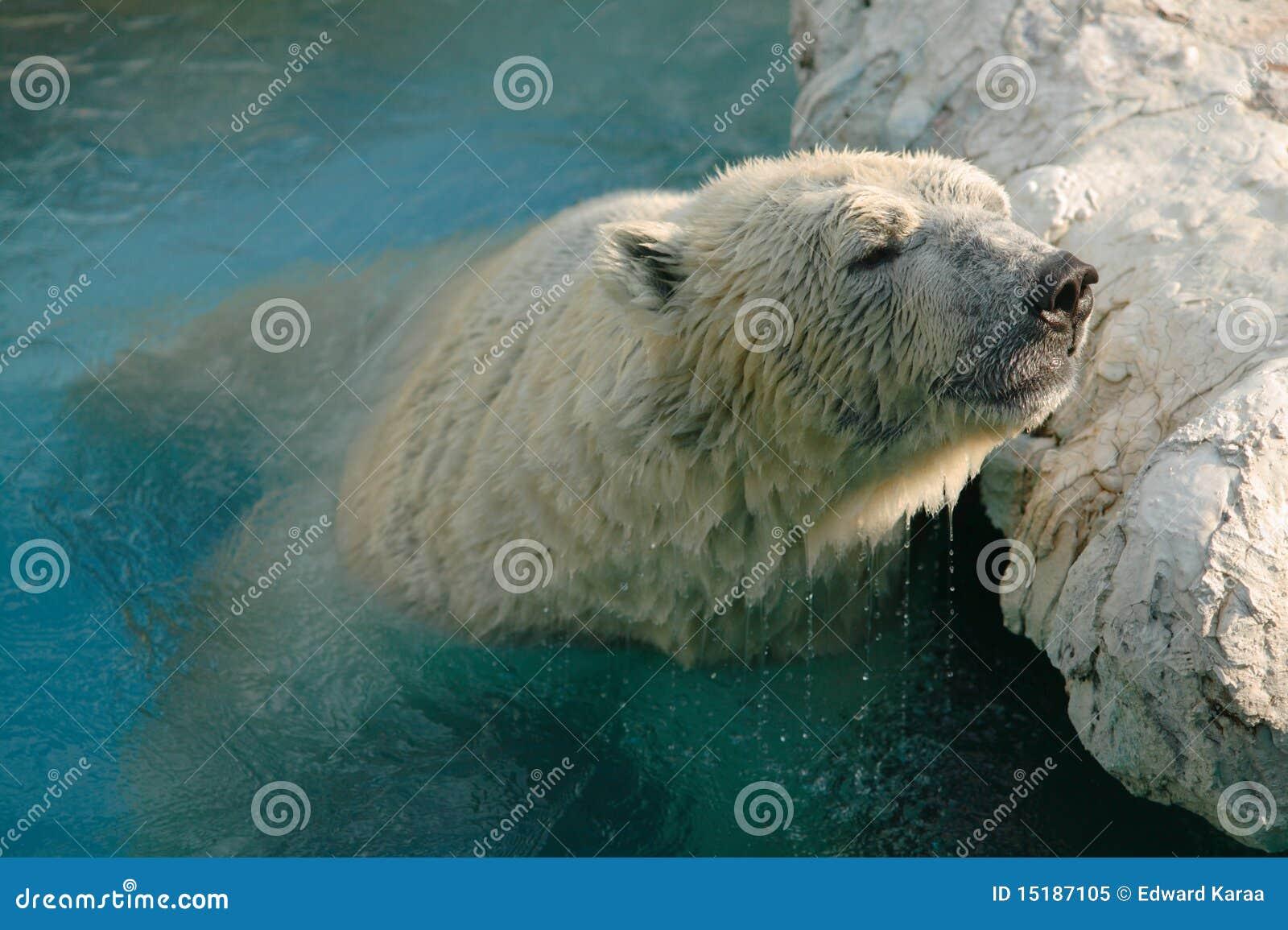 белизна медведя приполюсная